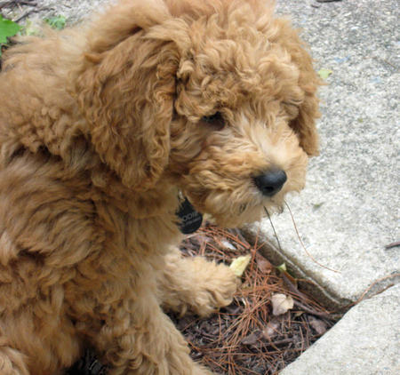 Bodie the Goldendoodle Pictures 1059869