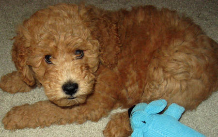 Bodie the Goldendoodle Pictures 1059870