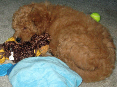 Bodie the Goldendoodle Pictures 1059871