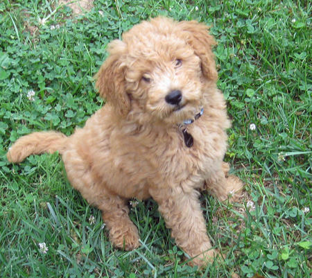 Bodie the Goldendoodle Pictures 1059872