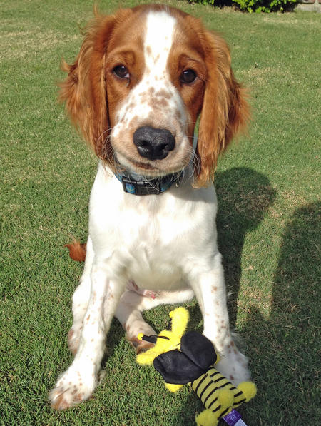 Bodie the Welsh Springer Spaniel Pictures 1014100