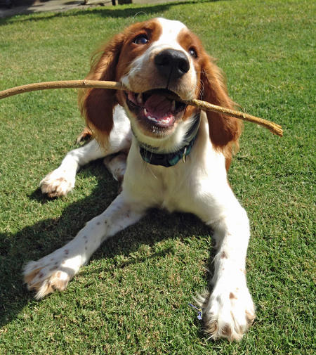Bodie the Welsh Springer Spaniel Pictures 1014101