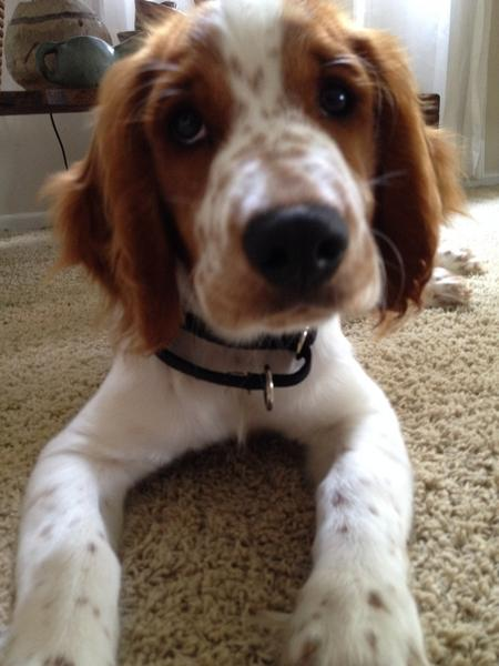 Bodie the Welsh Springer Spaniel Pictures 1014105