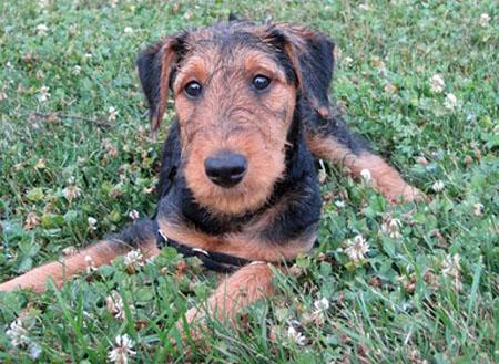 Bogart the Airedale Terrier  Pictures 809145