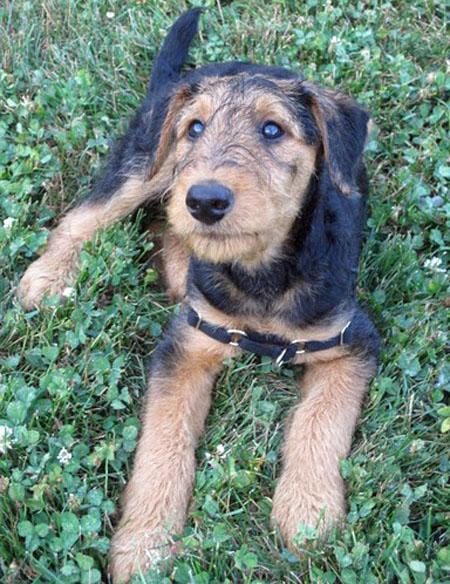 Bogart the Airedale Terrier  Pictures 809147