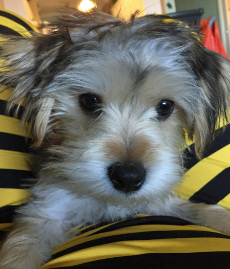 Bogey the Maltese Mix Pictures 1029163