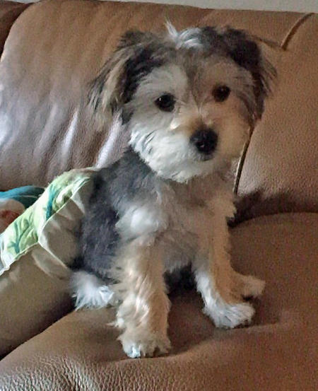 Bogey the Maltese Mix Pictures 1029164