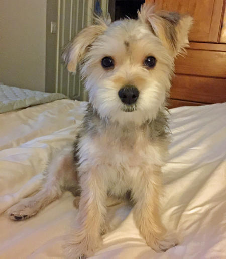 Bogey the Maltese Mix Pictures 1029165