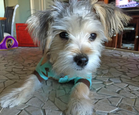 Bogey the Maltese Mix Pictures 1029166