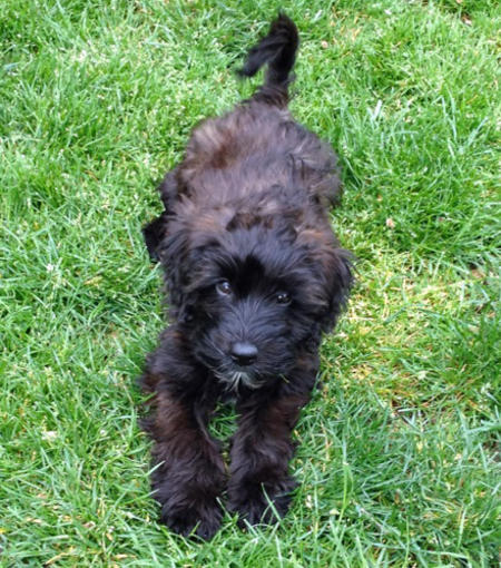 Bogie the Poodle Mix Pictures 909004