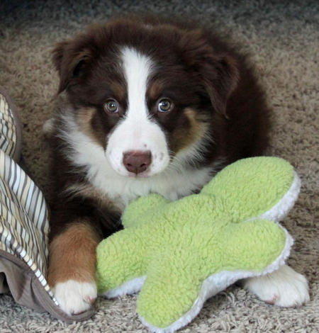 Bolo the Australian Shepherd Pictures 871352