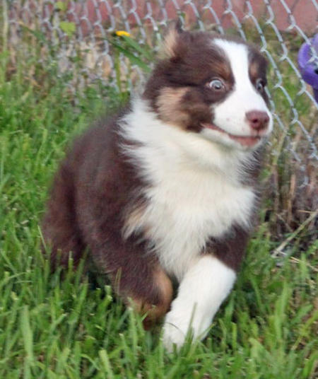 Bolo the Australian Shepherd Pictures 871354