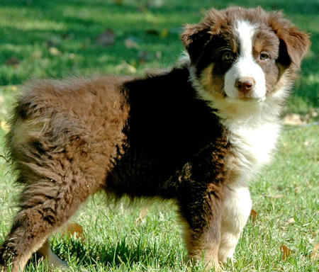 Bolo the Australian Shepherd Pictures 871357