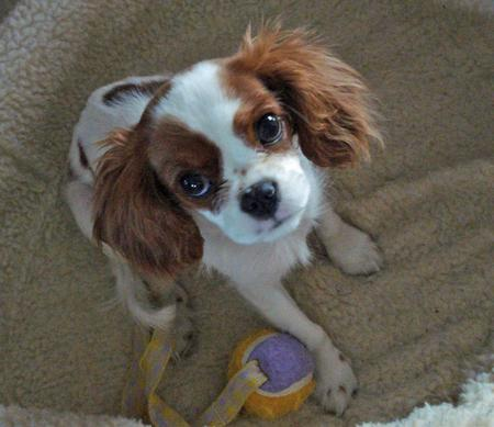 Bon Bon the Cavalier King Charles Spaniel Pictures 777538
