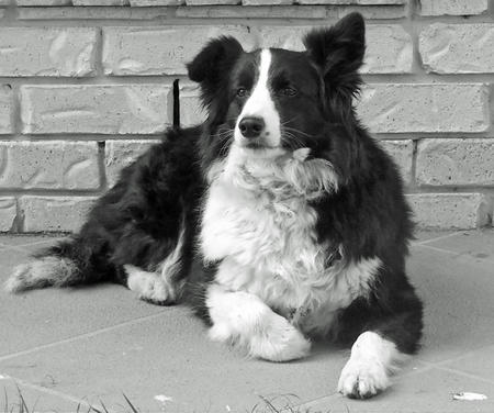 Bonnie the Border Collie Pictures 886462