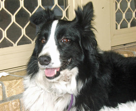 Bonnie the Border Collie Pictures 886465