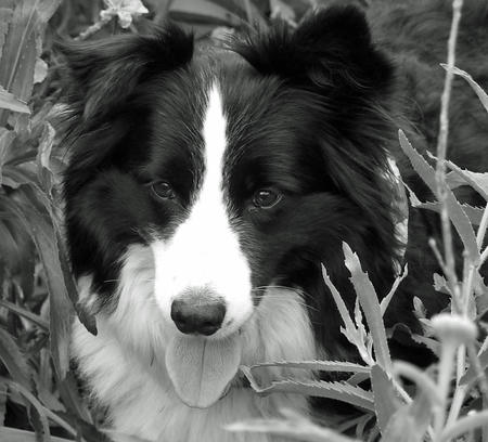 Bonnie the Border Collie Pictures 886460