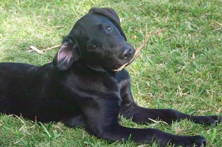 Boo the Labrador Retriever Pictures 987437