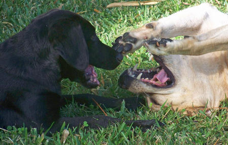Boo the Labrador Retriever Pictures 987438