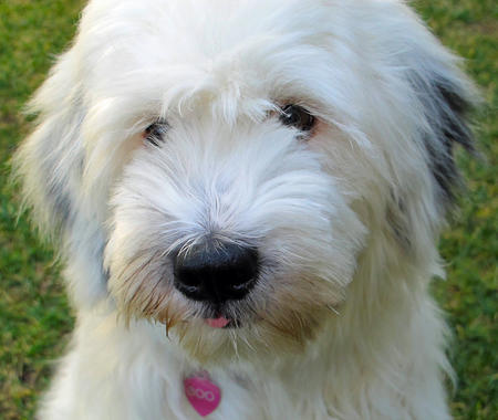 Boo the Tibetan Terrier Pictures 726021