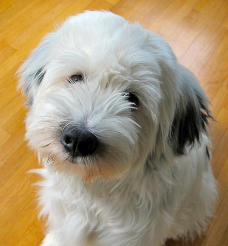 Boo the Tibetan Terrier Pictures 726024