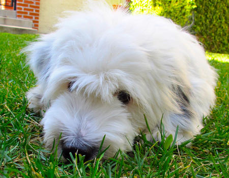 Boo the Tibetan Terrier Pictures 726020