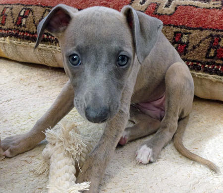 Boo the Whippet Pictures 964532