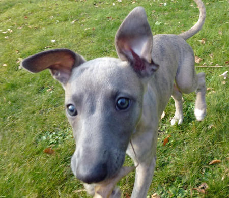 Best Family Dogs Whippets