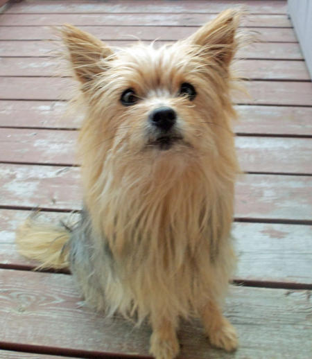 Booboo the Yorkie Mix Pictures 1059598