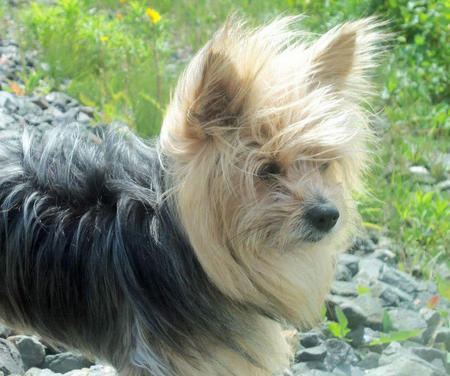 Booboo the Yorkie Mix Pictures 1059600