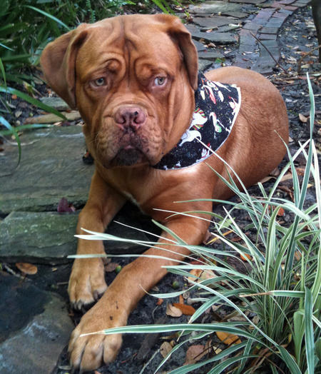 Boris the French Mastiff Pictures 680944