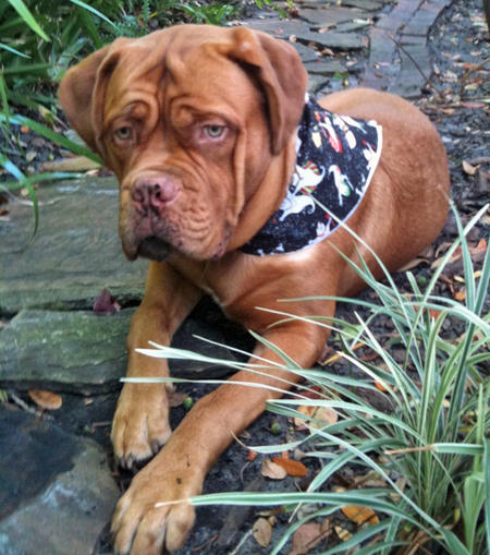 Boris the French Mastiff Pictures 680945