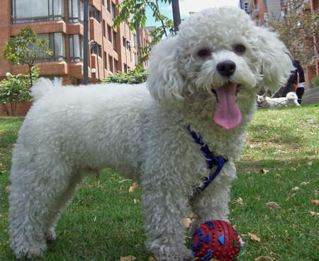 Bosch the Poodle Pictures 435163