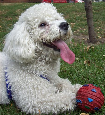 Bosch the Poodle Pictures 435165