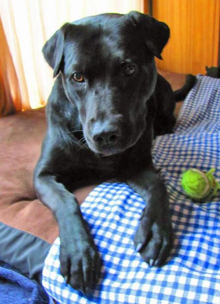 Bosley the Labrador Retriever Pictures 947549