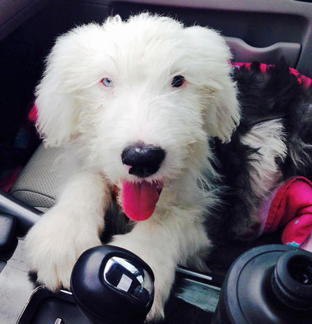 Bowie the Old English Sheepdog Pictures 1016573