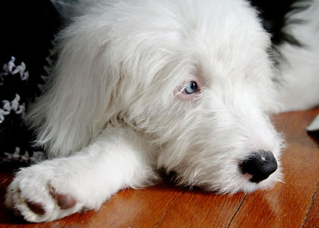 Bowie the Old English Sheepdog Pictures 1016576