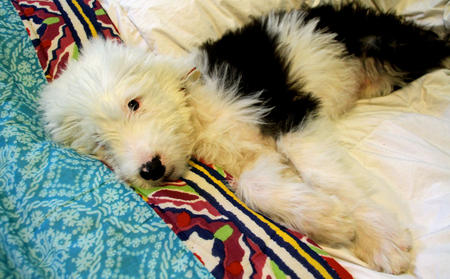 Bowie the Old English Sheepdog Pictures 1016577