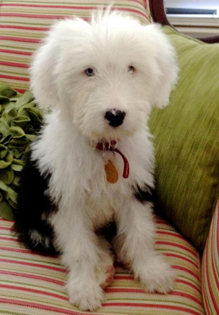Bowie the Old English Sheepdog Pictures 1016578
