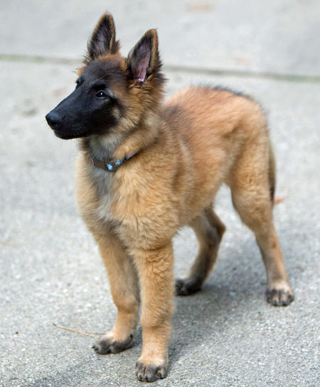Bowie the Belgian Tervuren Pictures 930779