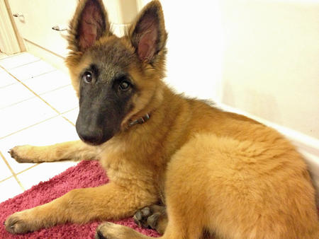 Bowie the Belgian Tervuren Pictures 930778