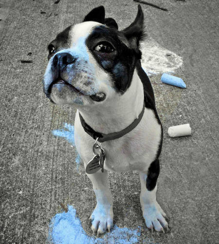 Bowser the Boston Terrier Pictures 1027234