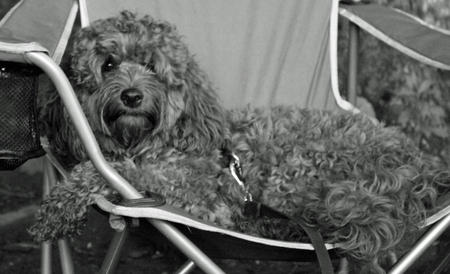 Bowser the Cockapoo Pictures 925200