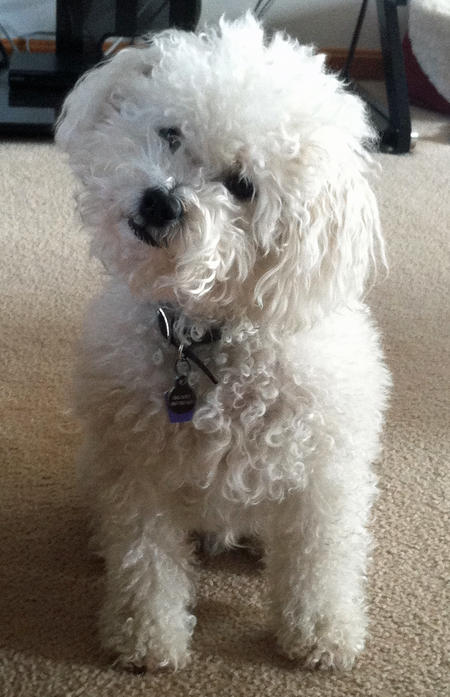 Brady the Bichon Frise Pictures 1037801