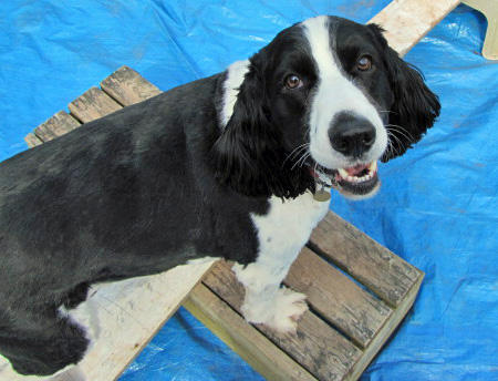 Brady the English Springer Spaniel Pictures 590873