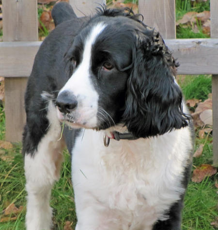 Brady the English Springer Spaniel Pictures 590874