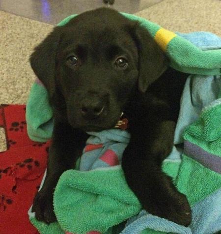 Brady the Labrador Retriever Pictures 1032573