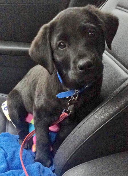 Brady the Labrador Retriever Pictures 1032575