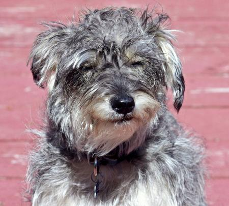 Brady the Schnauzer Mix Pictures 653366
