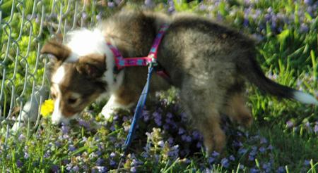 Brandi the Shetland Sheepdog Pictures 574159